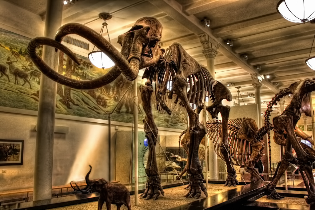 A fossilized mammoth at the Museum of Natural History.