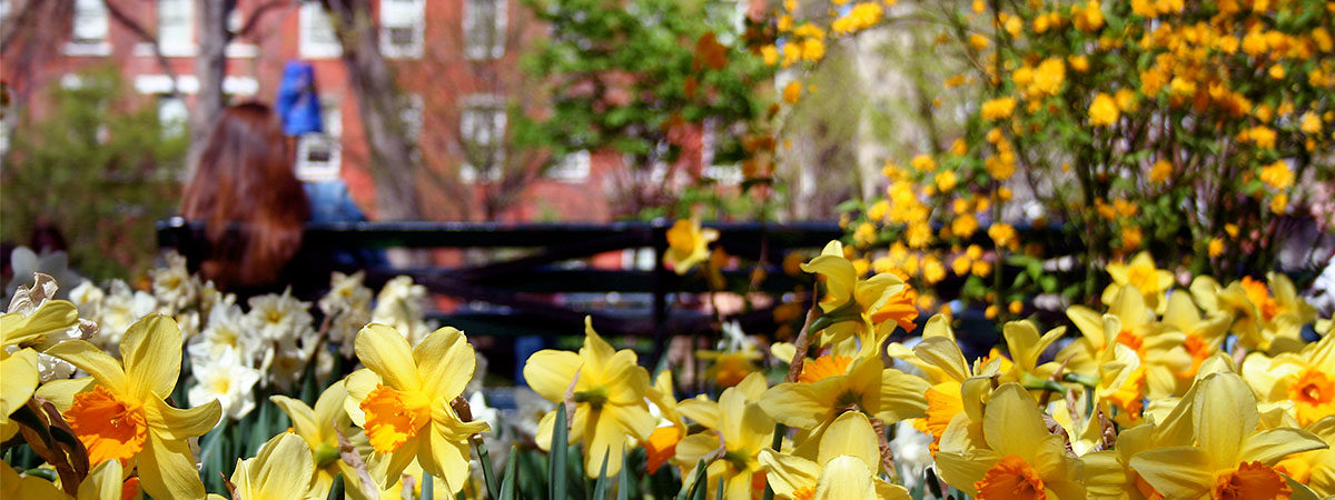 Daffodils blooming on the streets of New York City